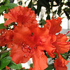Closeup of Red Azalea