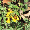 Yellow Fumewort (Corydalis) Blooming From Early April in Central Virginia - Dropped in By Our Generous Birds - This is a toxic plant so we can be sure the deer will leave it alone.  It seems to be doing very nicely on its own.