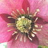 Hellebore Bloom Has Seed Heads Popping Out All Over