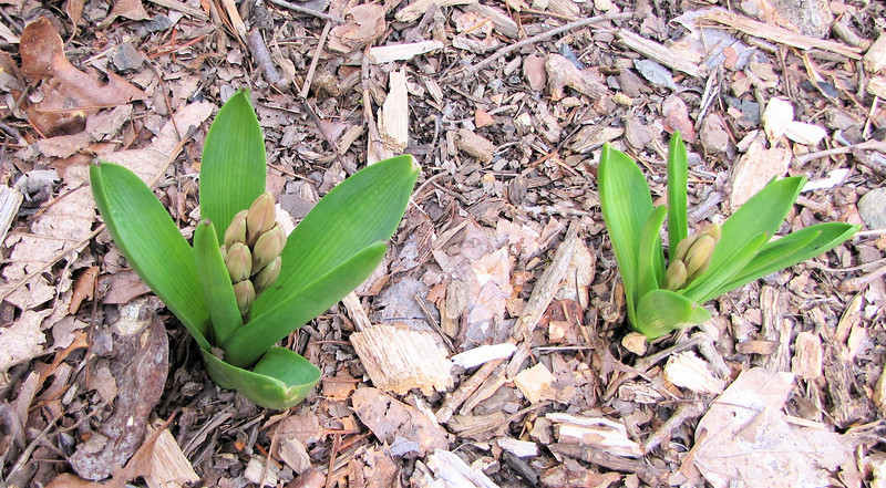 Hyacinths Are Coming Up - March 11