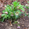 Hellebores Losing Their Flower Color As They Develop Seed Pods