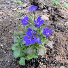 New Addition to Our Garden - Lobelia (Lobelia erinus)<br /> Placed in backyard in front of spireas.