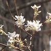 Shadbush or Serviceberry Blooming Behind Pond