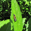 Ladybug Larvae - DO NOT KILL - These guys will turn into ladybugs - beneficial insects.