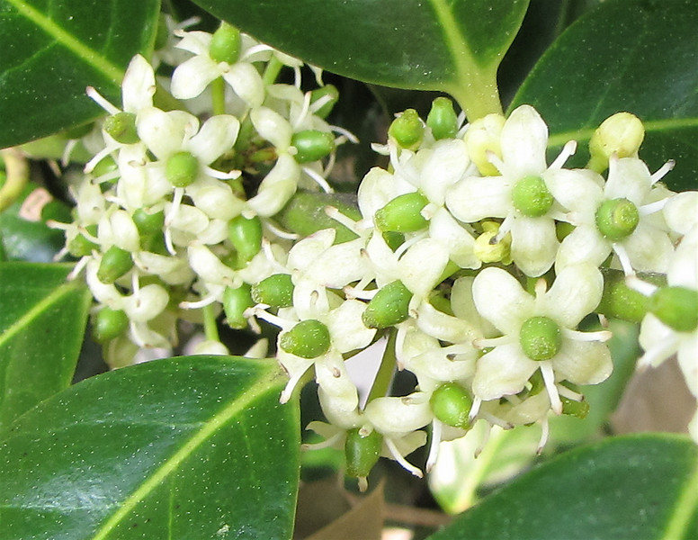 Closeup of Holly Blooms - You Can See The New Berries Forming in The Center