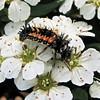 Closeup of Ladybug Larvae on Spirea