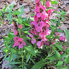 New Addition to Our Garden - Angelonia, Raspberry<br /> Placed in backyard in front of spireas.