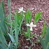 Two Small Irises Just Bloomed Today 4-30-11