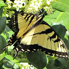 Male Eastern Tiger Swallowtail on Flowering Holly Bush