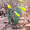 Daffodils Will Soon Be Smiling Wide - March 11