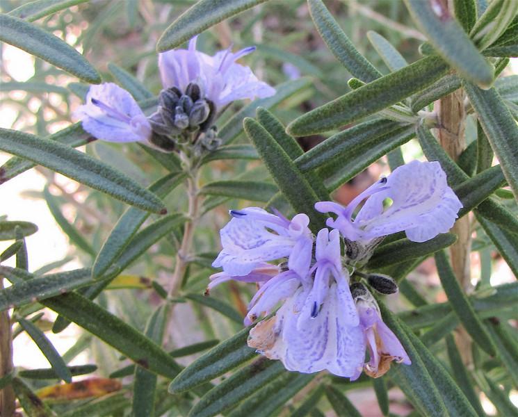 Flower on Rosemary Bush