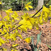 Forsythias and Daffodils - Spring Has Arrived