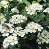 Ladybug Larvae on Spirea