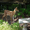 What a Wonderful World to Explore for the Fawn in the Safety of Our Backyard