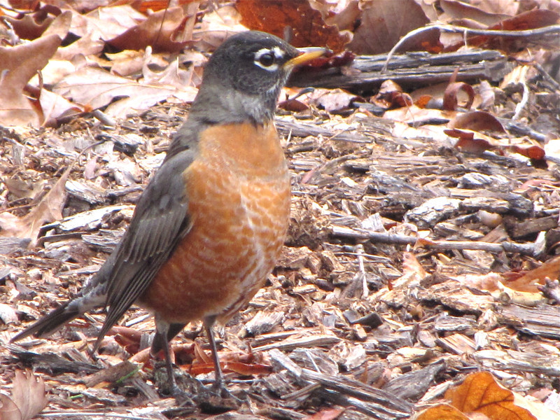 Early Robins Arrive on January 17, 2012 - Usually Not Here Until Mid-February