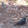American Robin and Common Grackle Under a Pine Tree