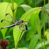 Dragonfly In the Family of Libellulidae - Possible Slaty Skimmer