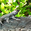 Eastern Grey Fence Lizard in Front Yard on Stump Stool