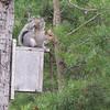 Squirrel on Bluebird House  2-19-12