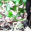 Black Rat Snake With A Meal In Its Tummy
