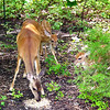 Mama Deer and Two Fawns Eating Birdseed Put Out For Doves