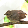 Baby Cardinal - One of Three