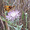 Male Zabulon Skipper Butterfly on Invasive Knapweed