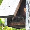 First View of Flying Squirrel in Bluebird House - First One We've Seen Here<br /> Randal was doing the semi-annual cleanup of the birdhouses and opened this one up to find two big black eyes staring him down.  Quite the shock since nothing has ever been in the boxes before.  With built-in parachutes, in the form of wing-like flaps of skin stretching from leg to leg, flying squirrels glide among the trees feeding at night. Flying squirrels are the oldest living line of modern squirrels on the planet.