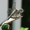 Male Great Blue Skimmer Dragonfly