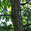 Underside of a Blue Jay in Tree