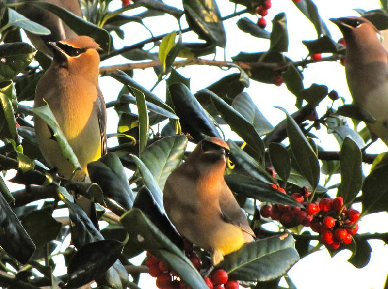 Trio of Cedar Waxwings on Holly Tree