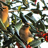 Trio of Cedar Waxwings on Holly Tree
