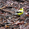 Male American Goldfinch on Path Out Front