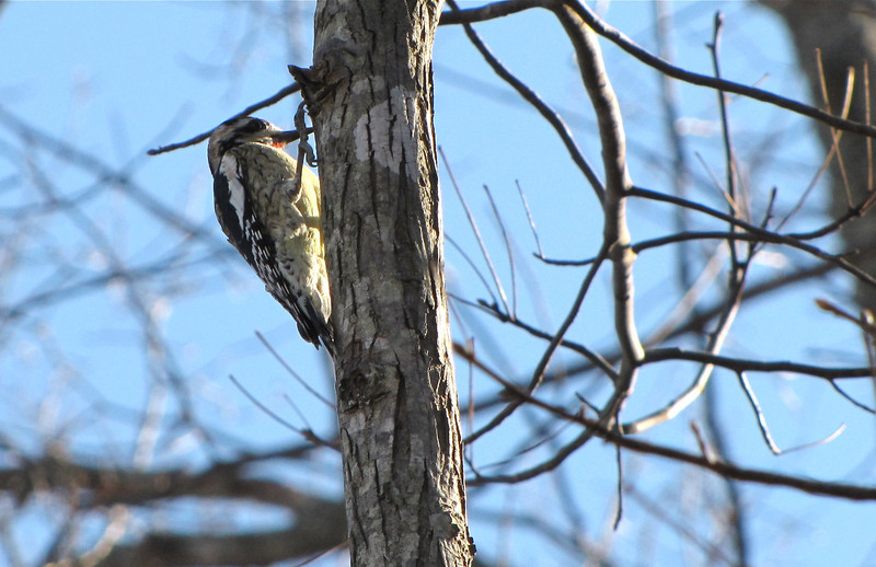 Yellow-bellied Sapsucker - Our Winter Visitor
