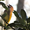 Cedar Waxwing Swallowing Holly Berry
