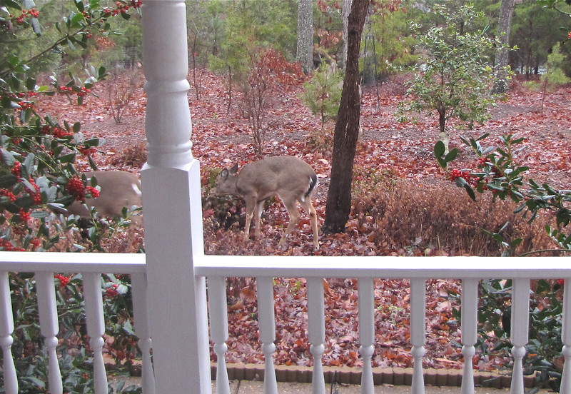 Two Young Deer with Mother at Front Porch Area