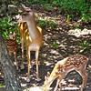 Mama Deer Listens to Dogs Barking Next Door