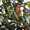 Cedar Waxwings Visit on January 25 - A Month Early