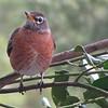 The Wonder of American Robins