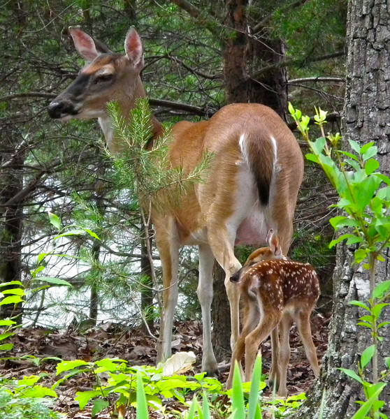 Mama Deer and Baby Fawn Who Is Taking It's First Stroll About Our Habitat