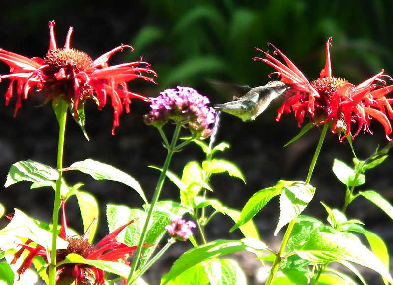 Hummingbird in Front Flower Garden