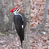 Male Pileated Woodpecker on Tree - Male Designated by Red Moustache