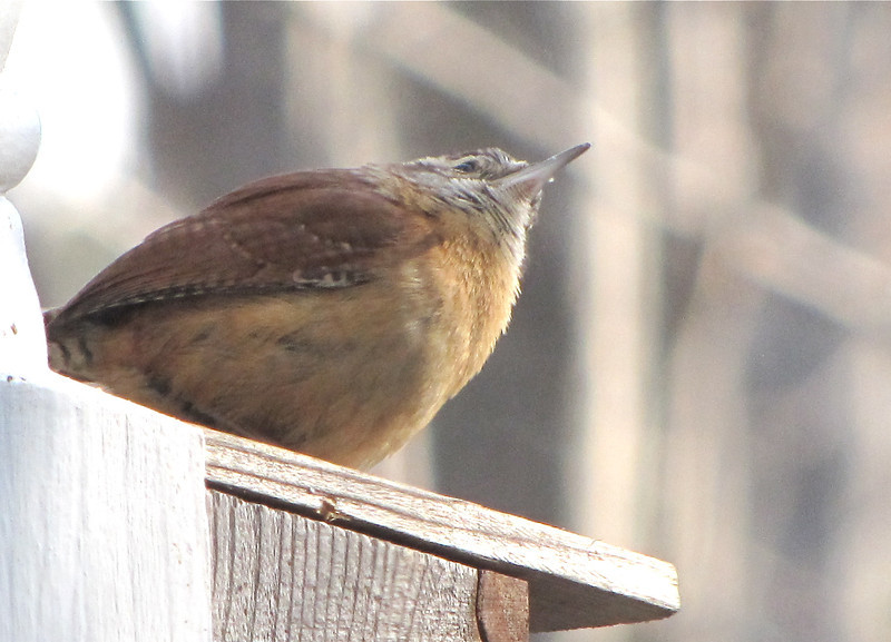 View From Beneath a Wren