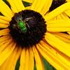 Metallic Green Bee (Agapostemon, Halictid Bee, Halictidae) on Black-eyed Susan