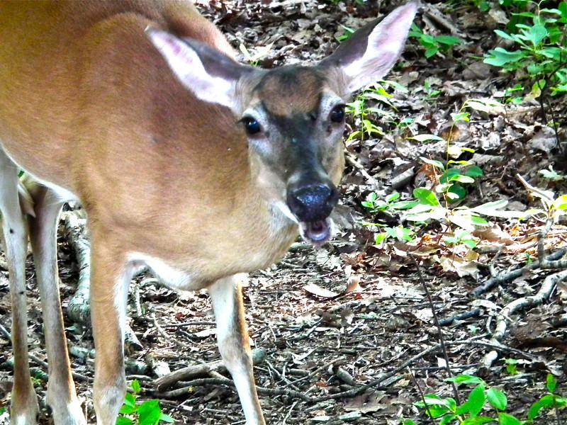Sweet Looking Deer - Precious Visitors to Our  Habitat