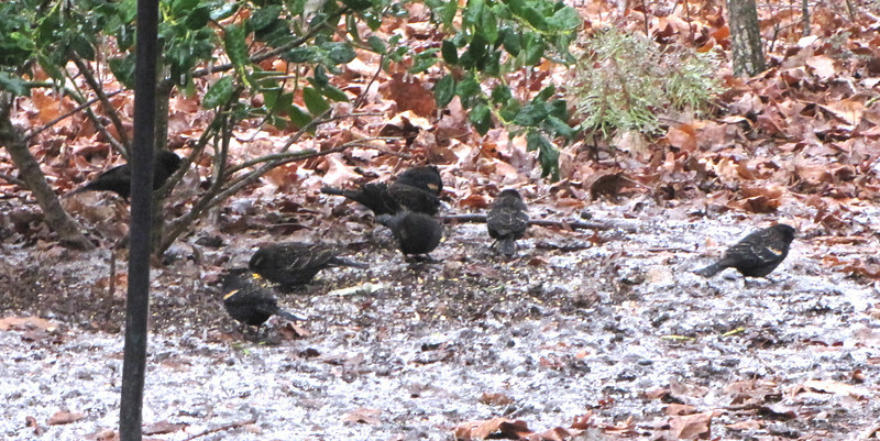 Flock of Red-winged Blackbirds Visit Icy Morning