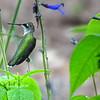 Female Ruby-throated Hummingbird Resting on a Flower Stem
