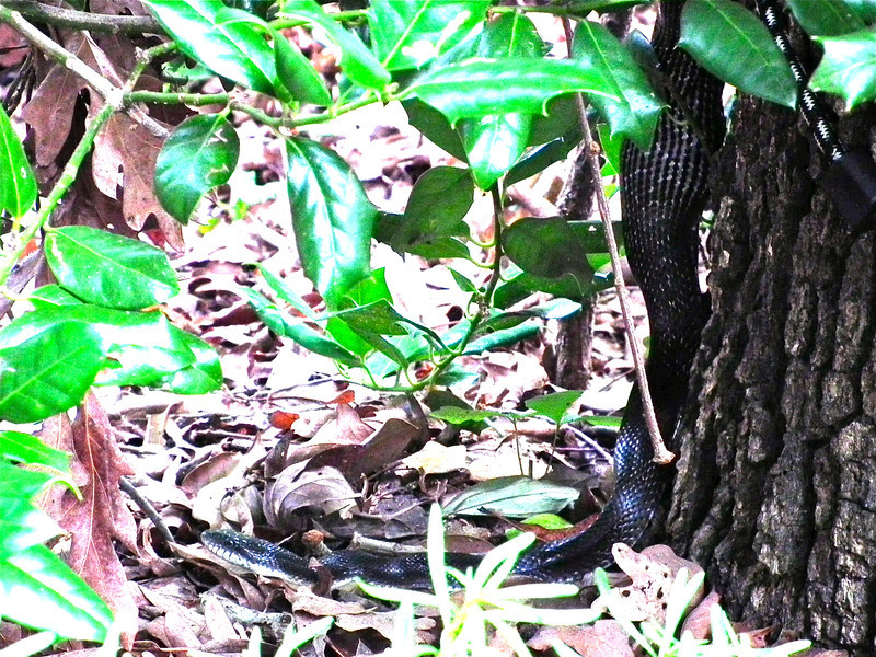 Black Rat Snake - You Can See He Had a Meal Not Long Ago