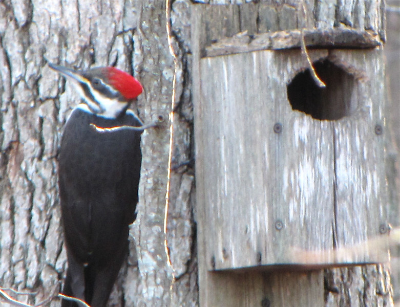 Young Woodpecker Rapping on the Birdhouse (aka Flying Squirrel Home)