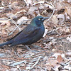 Common Grackle All Alone Visited on February 7, More Than a Month Early